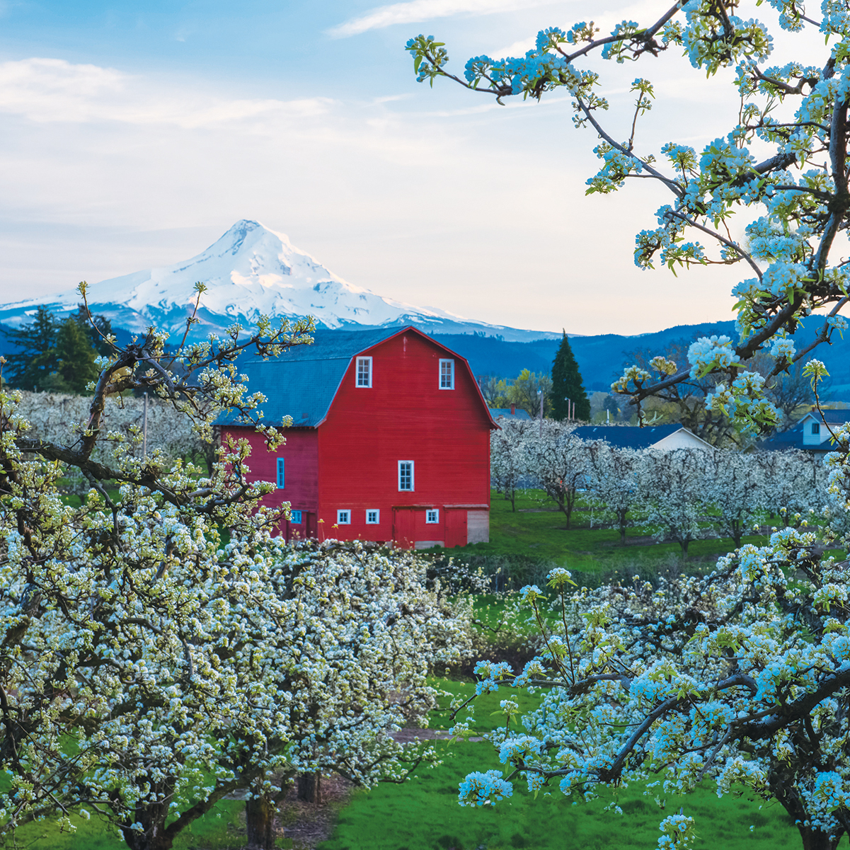 A view of pear tree blossoms, a red barn and Mt. Hood along the Fruit Loop in the Upper Hood River Valley