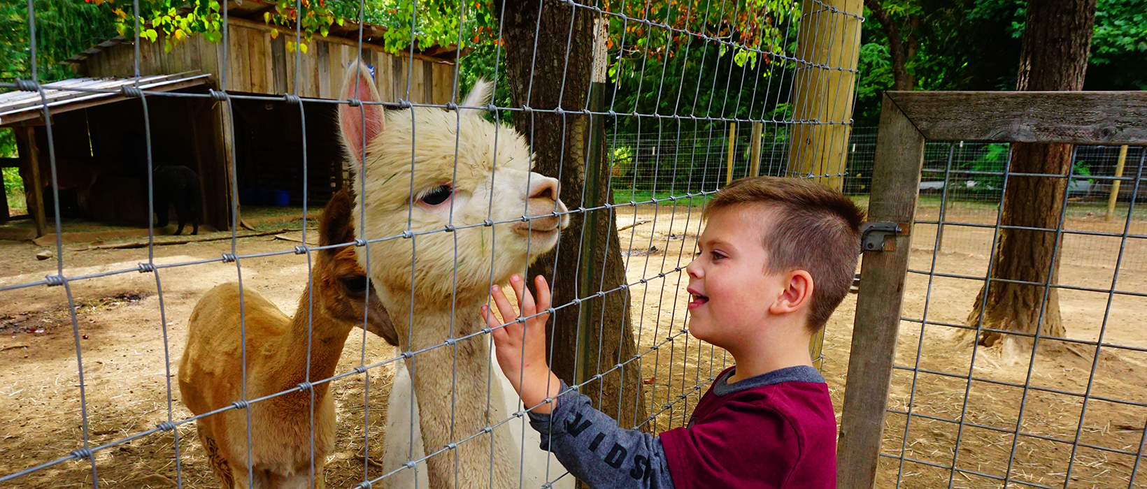 A young boy engages in a day of family fun petting an alpaca at an alpaca farm