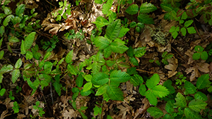 Watch out for poison oak while enjoying popular hikes in the Columbia River Gorge
