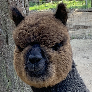 A close up of a handsome alpaca at Cedar Creek Alpacas in Cook, Washington