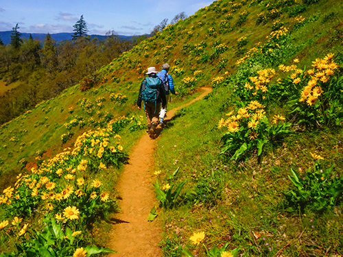 Two hikers follow the top portion of a trail surrounded by bright yellow wildflowers