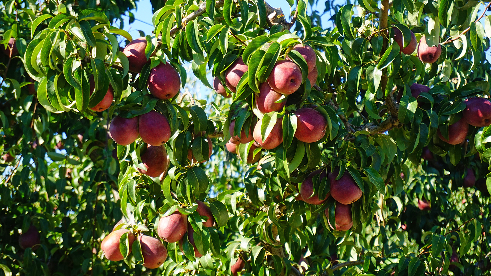 Ripe red apples hang heavy on a tree along the Fruit Loop in Hood River as the fresh fruit approaches harvest time